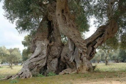 Ancient Olive Tree, Puglia